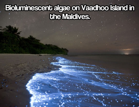 Bioluminescent algae…