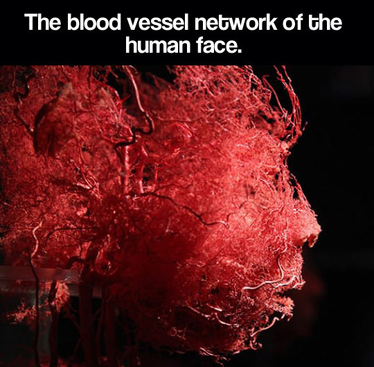 The blood vessel network…