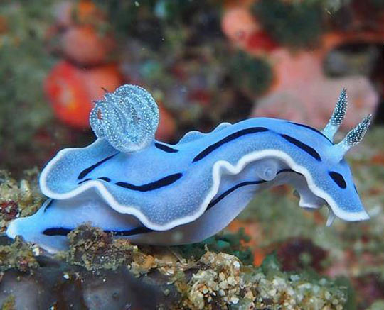 Amazing Blue Sea Slug…