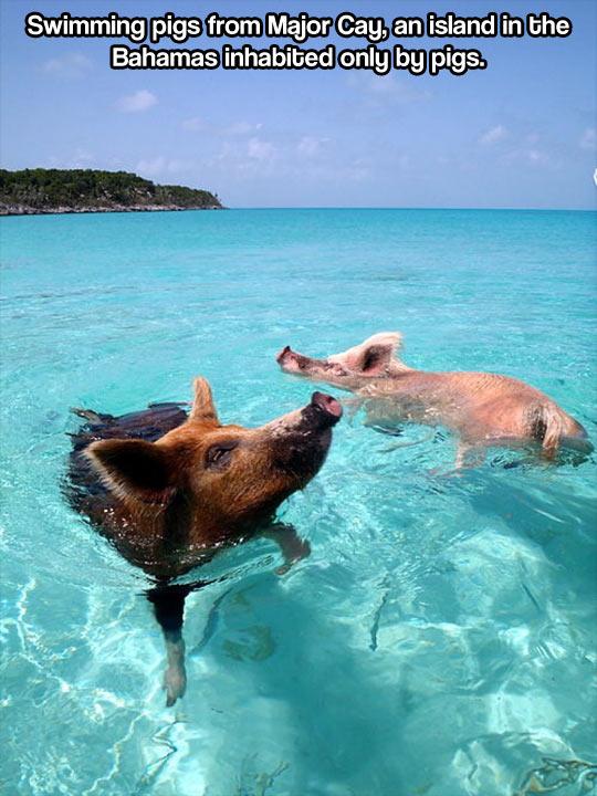 Swimming pigs…