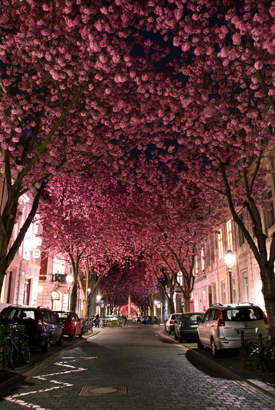 cool-pink-flowers-tree-street-Bonn-Germany