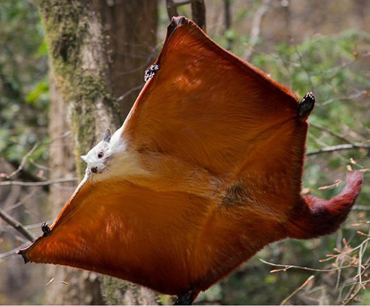 Red and white giant flying squirrel…