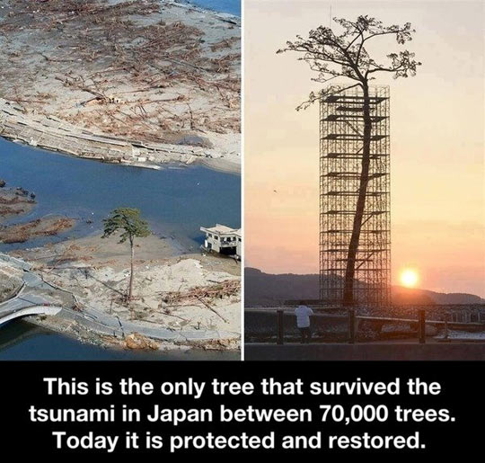 Tsunami tree survivor…