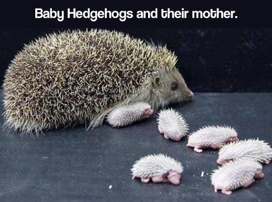Newborn baby hedgehogs and mom…