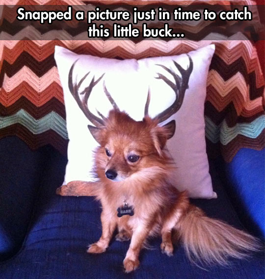 funny-buck-pillow-dog-couch-snapped