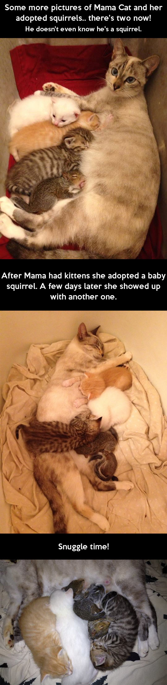 funny-cat-kittens-squirrel-adopted