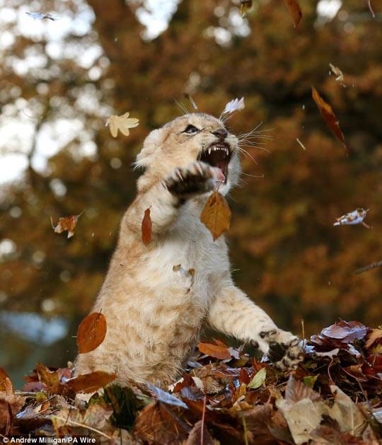 ....приходит сентябрь, И будет тревожно кружиться оторванный лист, Он в ветре прохладном немного продрог и озяб, Но что тут поделать? Природы осенней каприз... Funny-cool-lion-cub-leaves1