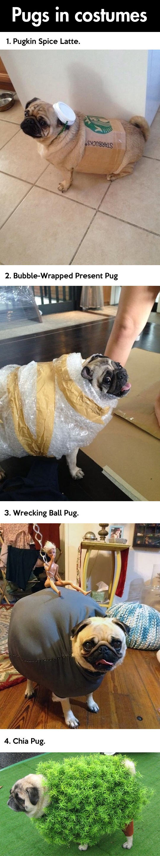 Pugs wearing costumes...