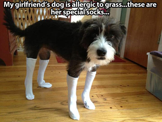 funny-dog-wearing-socks-allergic-grass
