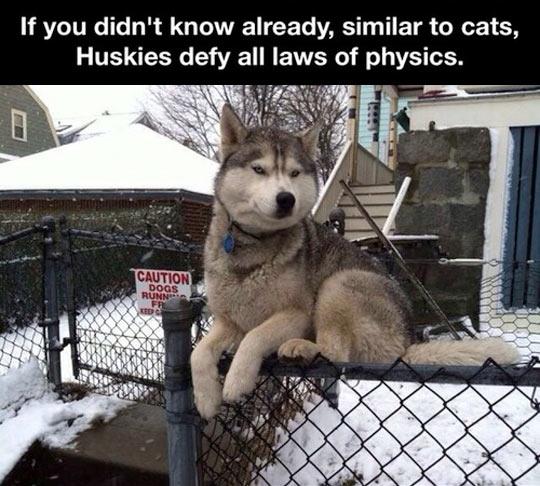 Law defying husky…