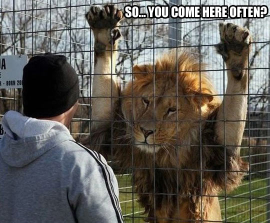 funny-lion-cage-zoo-guy