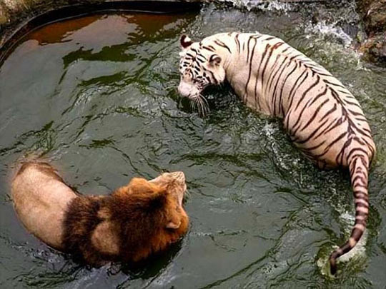 funny-lion-tiger-water-staring
