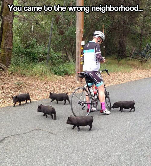 Don't mess with the baby pigs…