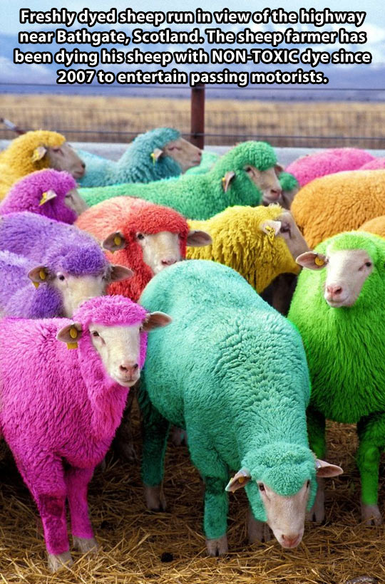 Dyed sheep…