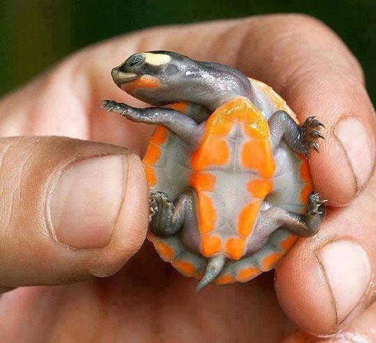 funny-turtle-cute-orange-color