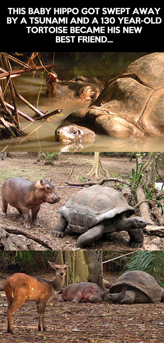 Baby hippo and old tortoise become best friends...