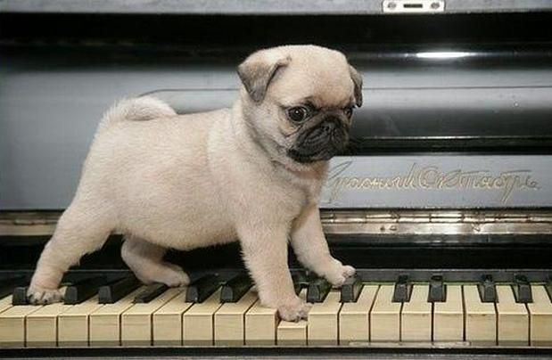 Hey, Pug! What Are You Doing There (13 pics)4