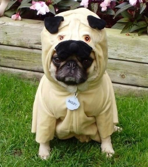 Hey, Pug! What Are You Doing There (13 pics)7