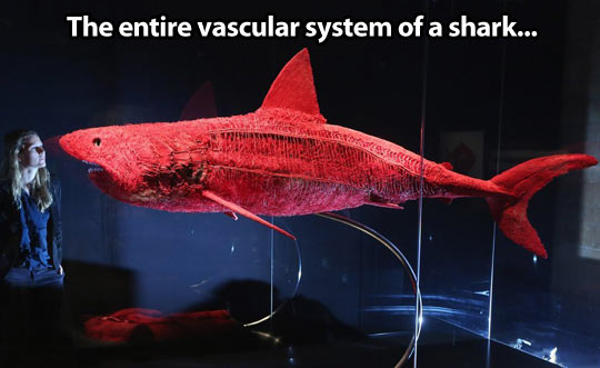 Shark's anatomy…
