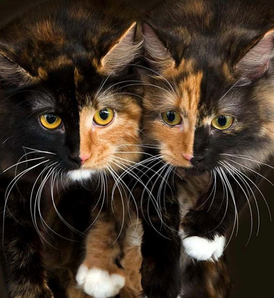 cool-two-colors-face-cats
