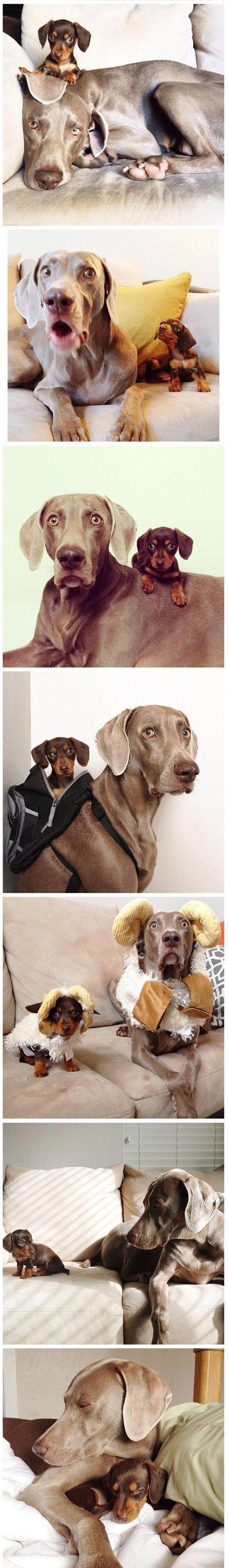cute-dog-couch-costume-Weimeraner-Dachshund-partner