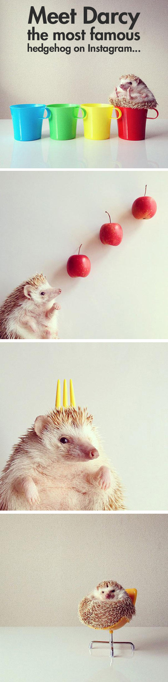 Darcy, the most famous hedgehog on the Internet...