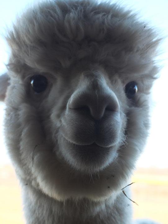 Smiling alpaca…