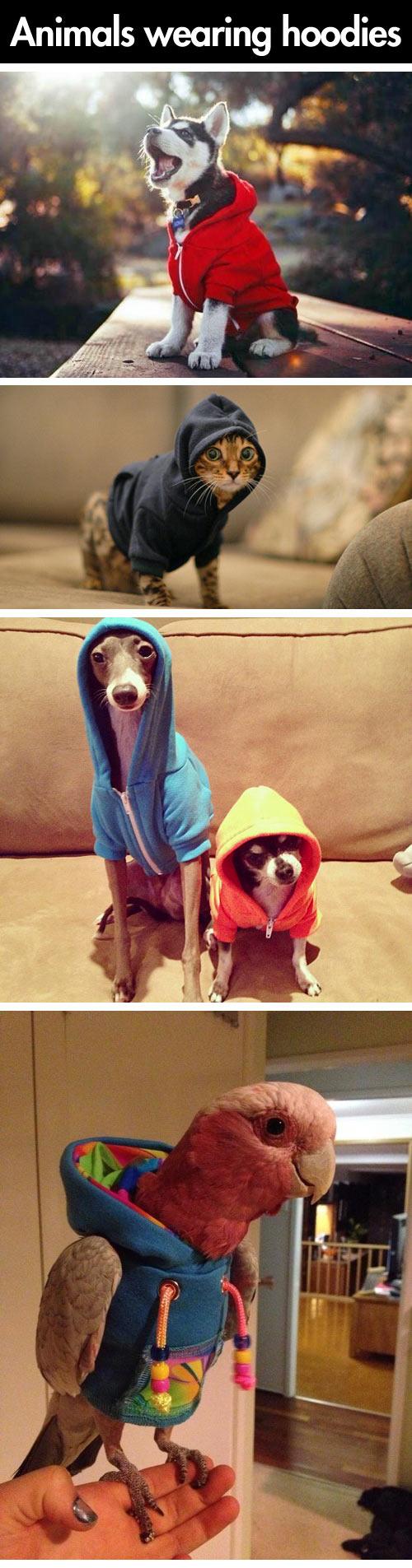 Cats wearing hoodies...