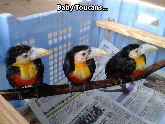 Little baby toucans…