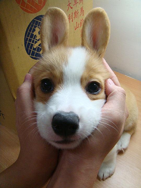 Bunny Corgi…