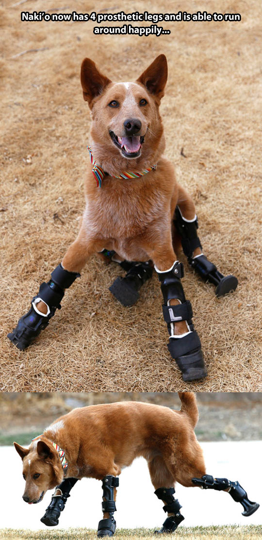 A dog with 4 prosthetic legs…
