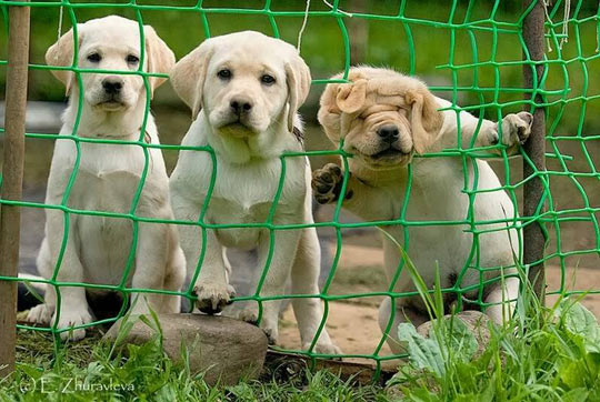 funny-dogs-looking-web-fence-head-stock