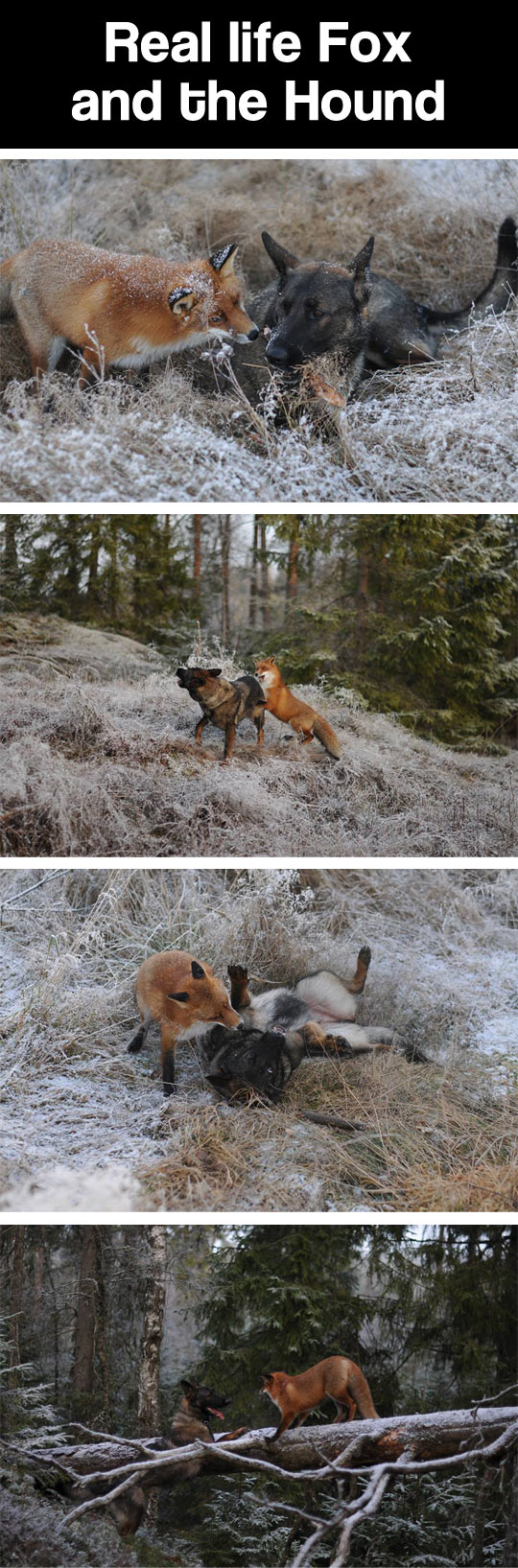 The real Fox and the Hound...