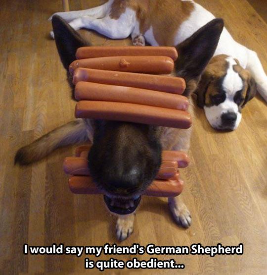 funny-hot-dog-still-balance-shepherd