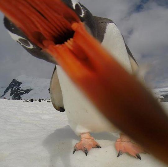 Eaten by a penguin…