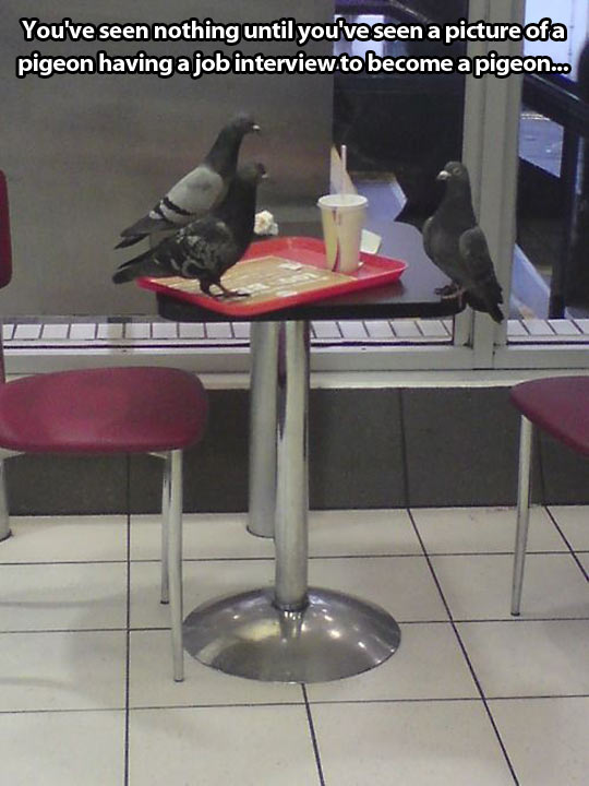 funny-pigeons-table-job-interview