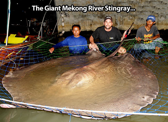 Huge stingray…