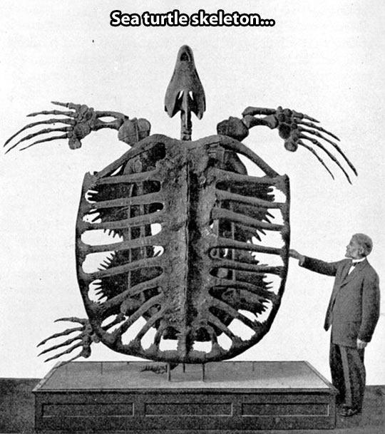 funny-turtle-skeleton-museum-bones