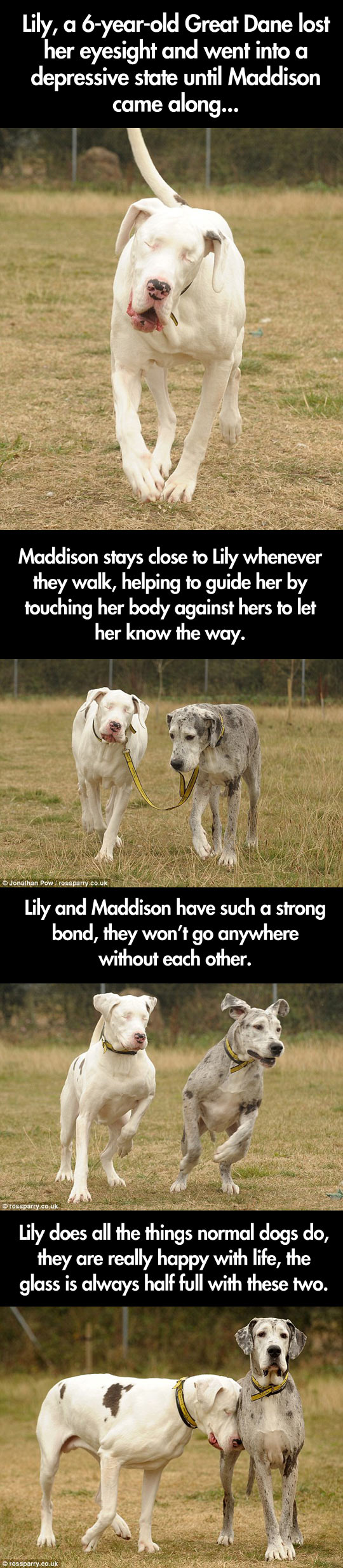 Blind Great Dane and her guide dog...