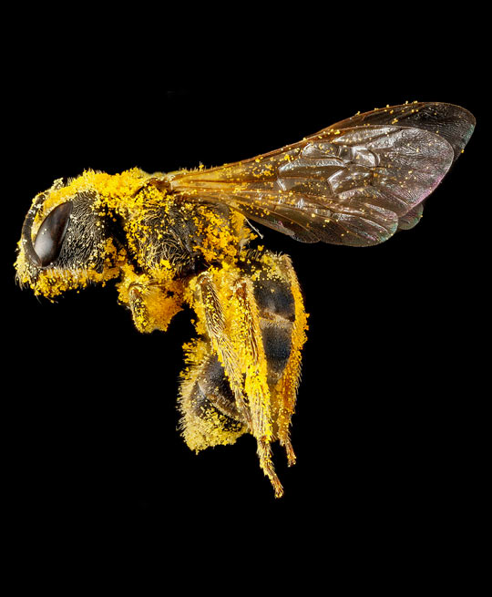 Close up of a pollen covered bee…