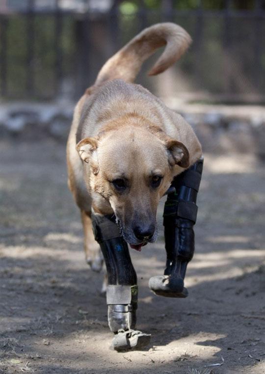 cool-dog-prosthetic-legs-walking