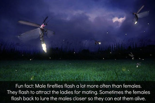 Poor male fireflies…