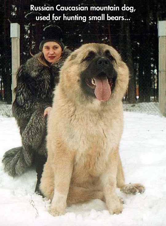 cute-Russian-mountain-dog-bear