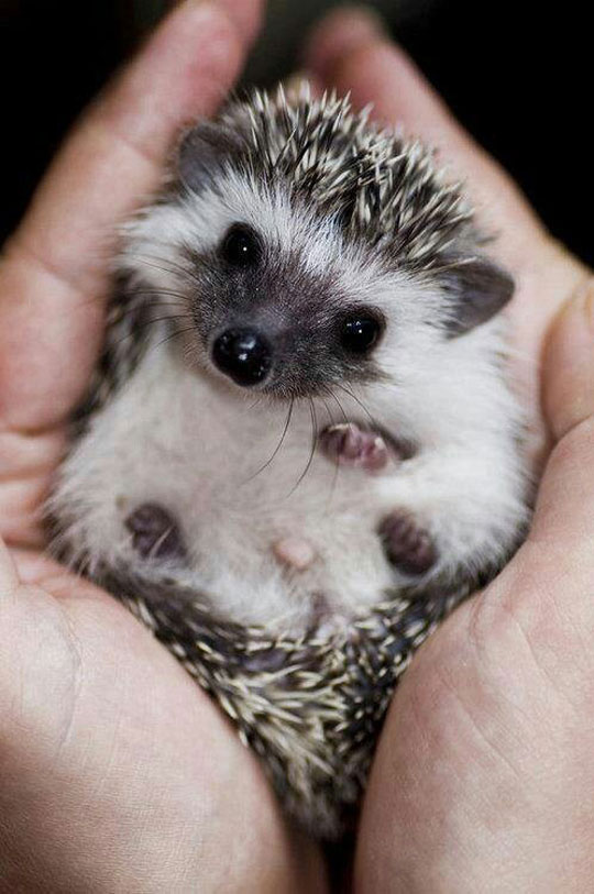 The cutest baby hedgehog you'll see today…