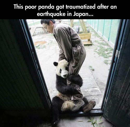 cute-traumatized-panda-earthquake-shed