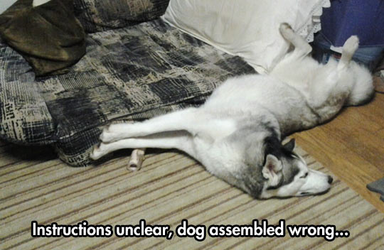 funny-Husky-dog-lie-down-nap-sleeping