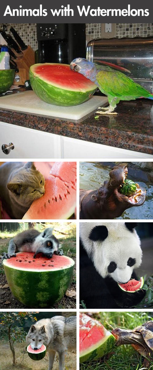 Animals eating watermelons…