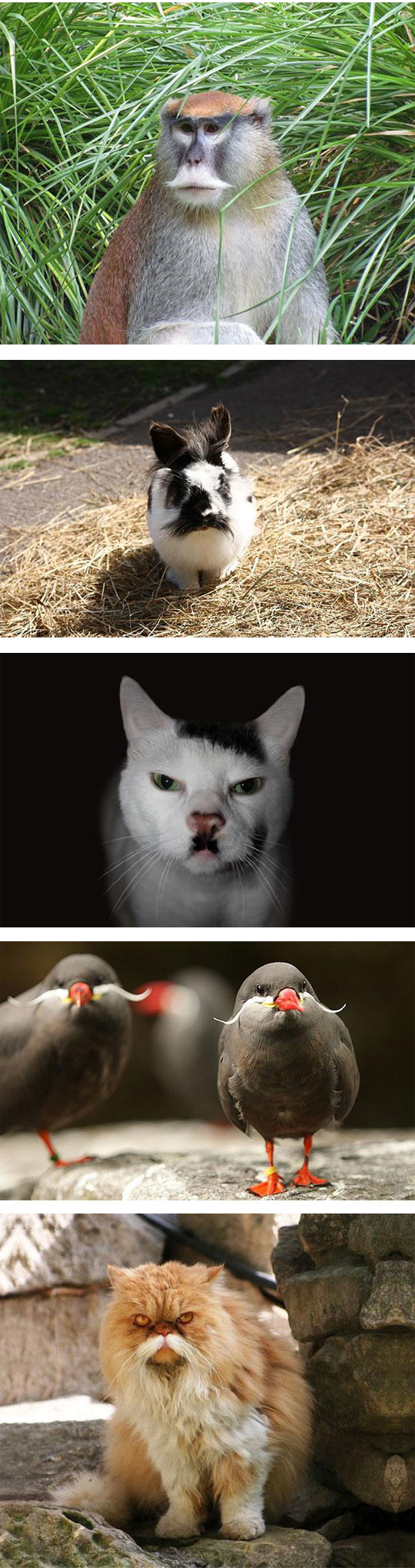 funny-animals-with-mustache-classy