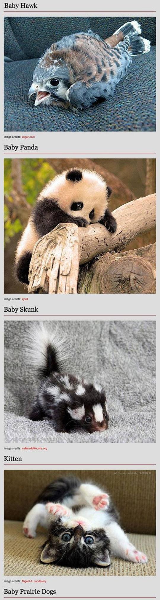 funny-baby-animal-kitten-bunny-panda