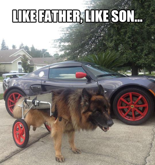 funny-car-dog-wheels-disabled